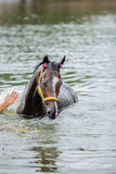 Bathing horse. The chestnut horse bathing in a lake Stock Photo