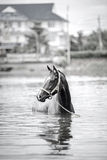 Bathing horse. The chestnut horse bathing in a lake Royalty Free Stock Images