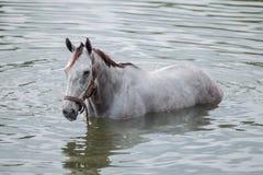 Bathing horse. The chestnut horse bathing in a lake Stock Image