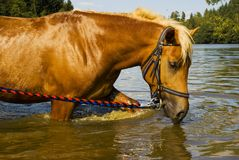 Bathing horse in nature Stock Photography