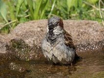 Bathing house sparrow Stock Photos