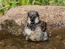 Bathing house sparrow Stock Photo