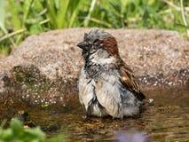 Bathing house sparrow Royalty Free Stock Photos