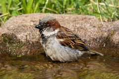 Bathing house sparrow Royalty Free Stock Photo