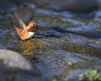 Bathing Hummingbird. Allen's Hummingbird baths in a shallow stream on a sunny spring day in Northern California Royalty Free Stock Photography