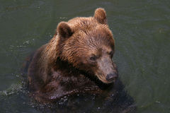 Bathing kodiak Royalty Free Stock Photos