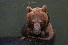 Bathing kodiak bear. Kodiak bear enjoying a refreshing bath in the river royalty free stock photography