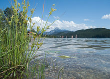 Bathing lake with plants. Look over the Weissensee to the Alps / Allgau / Bavaria in the summer of 2012 Royalty Free Stock Photography