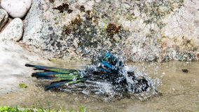 Bathing Magpie Stock Photos