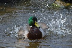 Bathing mallard Stock Photography