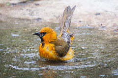Bathing Oriole. An oriole is bathing in a stream in Texas during the fall with its tail up in obvious enjoyment of the experience and eye glinting at the Royalty Free Stock Photos