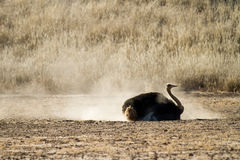 Bathing ostrich Stock Images