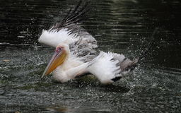 Bathing Pelican. Shoot of a bathing pelican on a pool Royalty Free Stock Photography