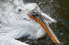 Bathing pelican Stock Image