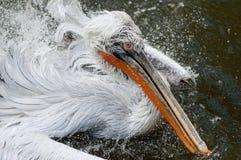 Bathing pelican. In Prague ZOO Stock Image