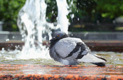 Bathing pigeon Stock Photo