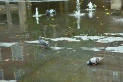 Bathing pigeons Stock Photos