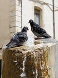 Bathing pigeons Stock Image
