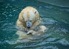 Bathing polar bears Stock Photo