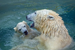 Bathing polar bears Stock Image