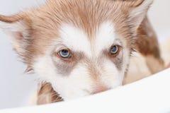 Bathing a puppy Alaskan Malamute. Puppy of Alaskan Malamute in the bath Royalty Free Stock Photos