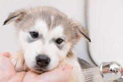 Bathing a puppy Alaskan Malamute. Puppy of Alaskan Malamute in the bath Stock Photo