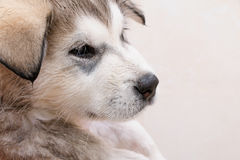 Bathing a puppy Alaskan Malamute. Puppy of Alaskan Malamute in the bath Royalty Free Stock Images
