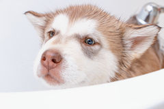 Bathing a puppy Alaskan Malamute. Puppy of Alaskan Malamute in the bath Stock Photos