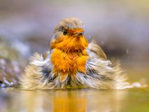 Bathing Red Robin royalty free stock image
