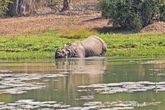 Bathing rhino Royalty Free Stock Photography