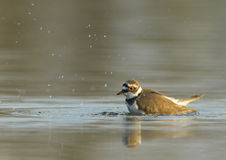 Bathing Ringed Plover (Charadrius dubius). Bathing ringed plover in sunset Stock Photo