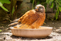 Bathing rock kestrel Stock Images