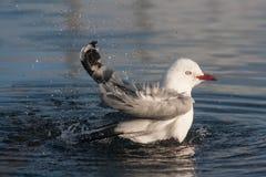 Bathing seagull Royalty Free Stock Photo