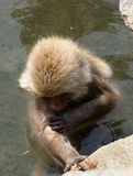 Bathing Snow Monkey. Close up of a snow monkey or Japanese macaque bathing in a hot spring pool with clear green water in Japan Royalty Free Stock Photography