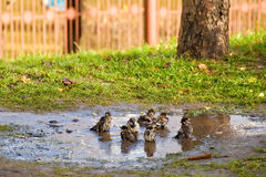 Bathing sparrows. Large pool and swim in it merrily sparrows Royalty Free Stock Images