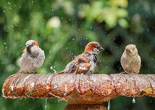 Bathing sparrows Royalty Free Stock Photo