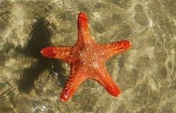 Bathing starfish. Stock Photography