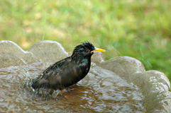 Bathing Starling Stock Image