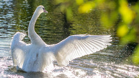 Free Bathing Swam Royalty Free Stock Images - 34190209