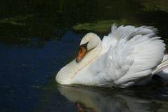 Bathing Swan Royalty Free Stock Photo