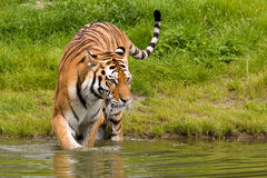 Bathing Tiger Royalty Free Stock Photography