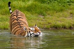 Bathing Tiger Royalty Free Stock Photos