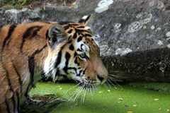 Bathing tiger Stock Image