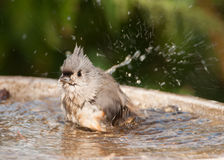 Bathing Titmouse Stock Photo