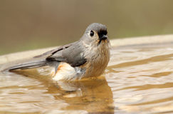 Bathing Tufted Titmouse Royalty Free Stock Image