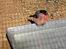 Bathing wet bullfinch. Cute wet bullfinch sits on the trough with water Royalty Free Stock Photography