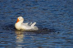 Bathing white goose in the pond of the park stock photo