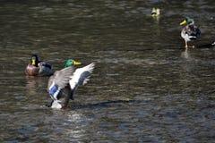 Bathing wild ducks_2 Royalty Free Stock Photos