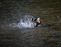 Bathing wild ducks. Wild duck swims in the river. It can be seen splashing water Stock Image