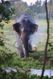 Bathing wild Elephant in jungle srilanka stock images